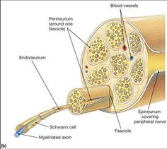 Peripheral Nerve in c.s. - Histology   Histology - Nervous System ...