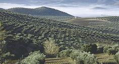 As far as you can see Campo de olivos. Andalucía