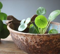 peperomia polybotrya eller raindrop er en pilea lignende. Black Bedroom Furniture Sets. Home Design Ideas