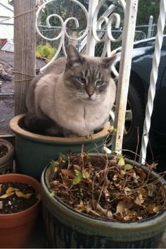 Potted Cat-----------or cat on pot!   LOL