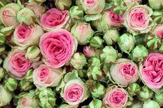 Mimi Eden pink spray roses at New Covent Garden Flower Market - July 2014