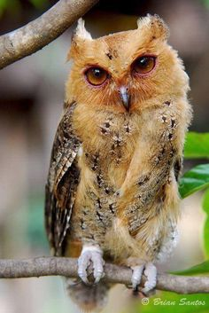 """Philippine Scops Owl, common small owl, endemic to Philippines. Hooting call sounds like """"oik, oik, oik"""" Photo by Brian Santos. That is one strange owl Owl Photos, Owl Pictures, Beautiful Owl, Animals Beautiful, Animals And Pets, Cute Animals, Wild Animals, Baby Animals, Baby Owls"""