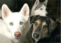 My dogs Kodi, Skye, Taavi. Jessie, Tecumseh, ONT - 8/8/2015