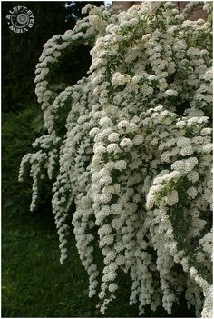 White Spirea (Wedding Veil) was in the front garden interspersed with roses. White Spirea (Wedding Veil) was in the front garden interspersed with roses. Garden Shrubs, Flowering Shrubs, Trees And Shrubs, Shade Garden, Growing Lavender, White Gardens, Dream Garden, Garden Inspiration, Garden Ideas
