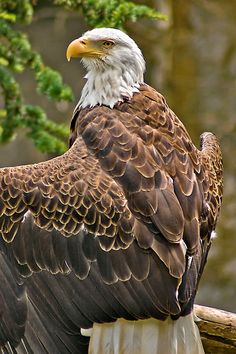 """Bald Eagle"" ... a beautiful example of the sunning pose ... by Doug Doidge"