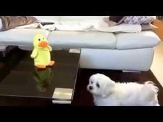 #Собака разговаривает с игрушечным утенком! #Dog talking to a toy duck.