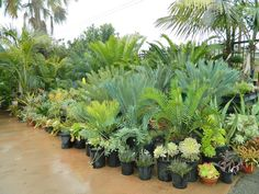Cycads and Succulents at nursery