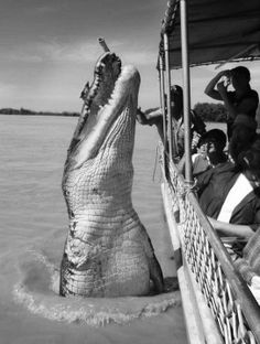 "Monster Croc ""Brutus"" who is missing his right foot , surprises a boatload of tourists in the saltwaters of Australia"
