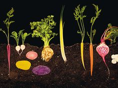 roots cross-section - modernist cuisine by nathan myhrvold