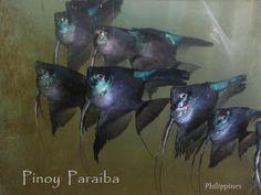 PINOY PARAIBA ANGELFISH