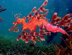These marine fish are called sea dragons, they are related to the seahorse and they are really cute. There are two types of the sea dragon: the leafy and the weedy sea dragons. They normally can be found along the southern and western coasts of Australia. Underwater Creatures, Underwater Life, Ocean Creatures, Vida Animal, Mundo Animal, Beneath The Sea, Under The Sea, Beautiful Sea Creatures, Animals Beautiful