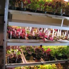 All About Coleus from National Gardening Association Leaf Coloring, Leaf Shapes, Gardening, Plants, Lawn And Garden, Plant, Planets, Horticulture