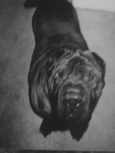 OLD ZUBA !  He was with me for almost 16 years !  BEST SHAR PEI SUCH A GREAT BOY !  WE MISS YOU AND YOIR SISTER TAI TAI EVERY DAY .  My first SHAR Peibbies have a special place in my heart forever my best friends and they loved one another more than I could hope for !!! MISS YOU TWO PEI EBBIES