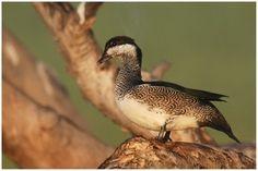 Anserelle élégante - Nettapus pulchellus