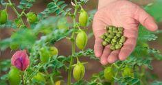 How to grow chickpeas in your garden Companion Gardening, Gardening Tips, Growing Beans, Planting Vegetables, Vegetable Gardening, Paper Pot, Pinterest Garden, Plant Diseases, Gardens