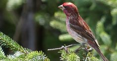 Roselin-pourpré-Haemorhous-purpureus-Carpodacus-purpureus-Purple-Finch