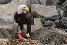 Bald Eagle enjoying a Salmon for lunch