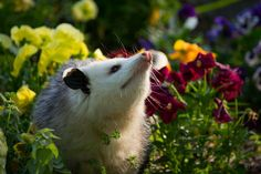 I'm smelling the pretty flowers! Please don't blame me for digging up your garden. I have neither the feet nor the temperament for destruction. It's the raccoons everyone thinks are so cute.