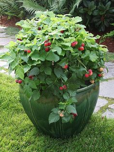 These raspberries do great when the right varieties are chosen, and they receive enough sun.