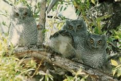 How many owls? #Wildlife #cute #owls #RapidCity #SouthDakota