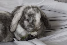 Please help me name my wee girl mini lop! http://ift.tt/2DUuY5A