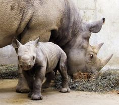 The International Union for the Conservation of Nature is officially declaring the Western Black Rhino of Africa extinct. In its latest assessment of the situation, the IUCN says two other sub-species of rhinoceros also are close to extinction. Like Animals, Zoo Animals, Animals Amazing, Adorable Animals, Primates, African Rhino, Rhino Poaching, St Louis Zoo, Baby Rhino