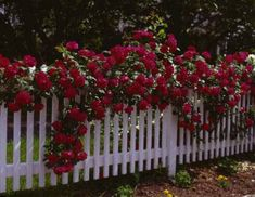 Red climbing rose atop a white picket fence,  classic (1) From: M Haworth, please visit