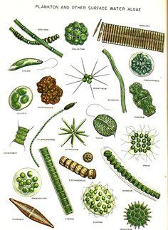 http://ag.arizona.edu/azaqua/algaeclass/algaedraw/PSALG.JPG