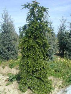 Abies nordmanniana Pendula Plants, Arbor, Abies, Conifers, Rhododendron, Tree, Garden