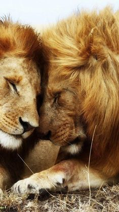 Lion Photography, Wild Animals Photography, Wild Animals Pictures, Lion Pictures, Lion Love, Cute Lion, Baby Animals, Funny Animals, Cute Animals
