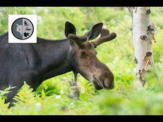 Filmmaking, Mammals, Moose, North America, Deer, Wildlife, Facebook, Watch, Nature