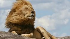 Image result for lions