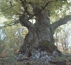 ARTE Y JARDINERÍA DISEÑO DE JARDINES: Quercus robur. El Roble