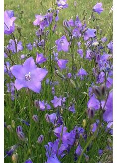 Harebell / Campanula rotundifolia   Native to much of North America's dry grasslands and semi-shaded woods, this delicate wildflower only grows to be about one foot tall. Its deep, bluish-purple, bell-shaped flowers are clustered at the tips of several stems blooming from June through to September. Although the flowers are scentless, butterflies regularly visit them. Thriving in poor dry soils, it makes a fine addition to the rock garden.