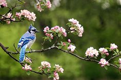 blue jay bird images - Google Search
