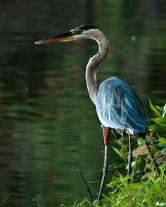 Great Blue Heron. Photo by Clarisa
