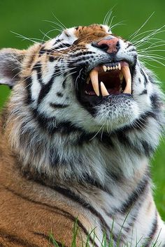 The tiger is the largest cat species, most recognisable for their pattern of dark vertical stripes on reddish-orange fur with a lighter underside. The species is classified in the genus Panthera with the lion, leopard, jaguar and snow leopard.