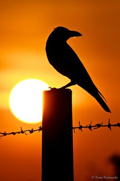 "Picture of the Day: ""Crow at Sunrise"""