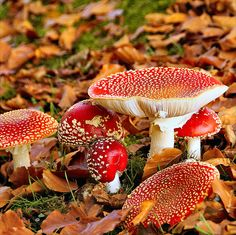 By atsjebosma, via Flickr. A big family, fly-agaric, vliegenzwam, The Netherlands