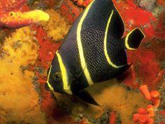 Mermaid's Dive: Under the Sea French Angel Fish Underwater Creatures, Underwater Life, Ocean Creatures, Underwater Pictures, Colorful Fish, Tropical Fish, Fauna Marina, Life Under The Sea, Beneath The Sea
