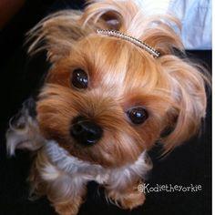 "Princess Rp @ kodietheyorkie _____________ #yorkshireterrier #yorkie #yorkiesofinstagram #yorkielove #ヨーキー #ヨークシャーテリア #yorkshire #yorkies #yorkielife #ヨークシャテリア #yorkiegram #proudyorkies_feature #yorkiesofficial #yorkiegram101 #yorkiestagram #instayorkie #йоркширскийтерьер #ilovemyyorkie #yorkiesofig #yorkieoftheday #йорк #york #terrier #愛犬 #わんこ """