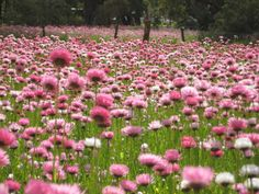 Places - King's Park, Perth, Australia. Love this everlasting, so gorgeous! Places I have been