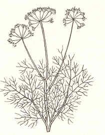 Dill - Anethum graveolens Herbs