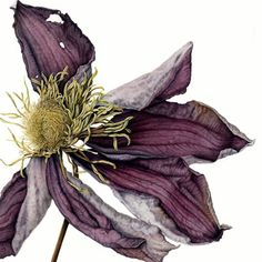 Julia has been painting botanical watercolours since 1998 when she joined an adult education class in South London. Hooked from day one, she loves to depict the beauty and detail of nature and is particularly drawn to specimens that are less than perfect such as autumn leaves, seed heads and fading flowers. She starts most of her paintings using layers of wet-in-wet techniques to create form. Detail and texture is then added using drier painting methods. Her subjects are often depicted…