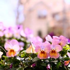 我が家のマンゴーアンティークという名のビオラ、どんどん色が変わってきてます。2016.2.14今日は異常な暖かさ、異常気象が心配。 #garden #gardening #viola #flowerpic #flowers #ガーデニング #園芸部 #花部 #花のある暮らし #ビオラ #マンゴーアンティーク #noon