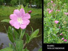Harig Wilgenroosje - Epilobium hirsutum. - Foto gemaakt door pinterester Adri v.d.S - Bord Wilde Rode bloemen - Red wildflowers