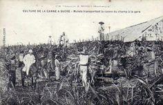 Transport de la canne à sucre du champ à la gare.