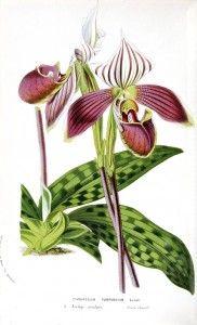 Botanical - Flower - Orchid - Lady slipper (1)