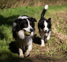Adorable border collie puppy I 'm going for a evening walk with my Mum and we're playing ball that's nice. Boarder Collie Puppy, Collie Mix, Cute Cats And Dogs, Dogs And Puppies, Doggies, Cute Dogs Breeds, Dog Breeds, Herding Dogs, Wild Dogs