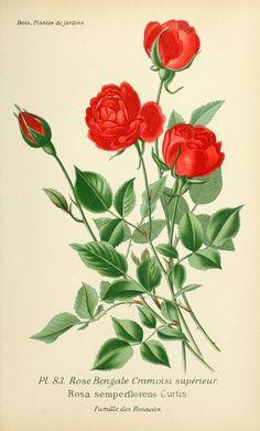 img/dessins plantes et fleurs jardins et appartements/dessin de fleur de jardin 0169 rose bengale cramoisi superieur - rosa semperflorens.jpg